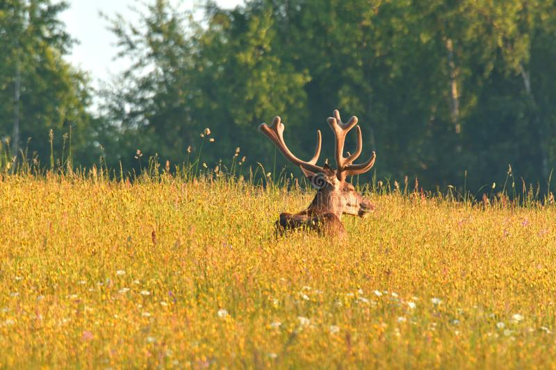 Deer stag sitting and sleeping on the meadow grass stock photos