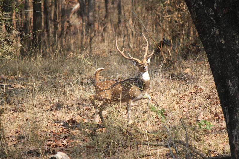 Deer stag sounding an alarm at Bandhavgarh National Park, India. The Axis axis Deer, also known as chital deer in india is a deer which commonly inhabits wooded stock photo