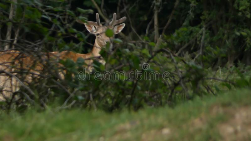 Deer Stag a young buck keeping guard royalty free stock photo