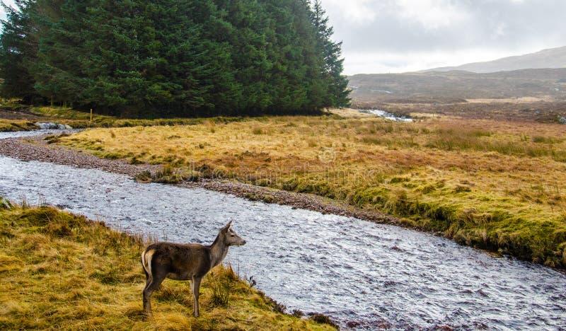 Deer Standing in Front of River stock images