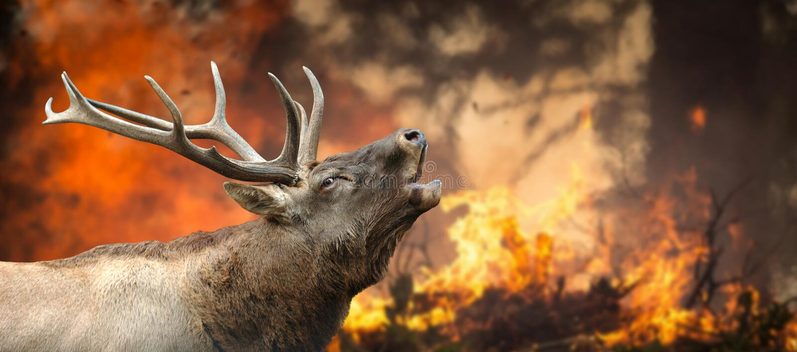 Deer stands in burning forest royalty free stock image