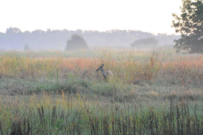 Deer stands in the feild grazing stock photo