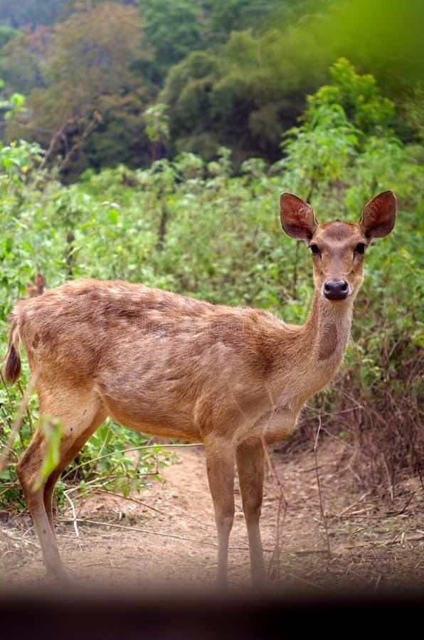 a deer stands between trees stock photos