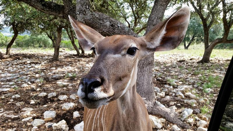 Deer staring straight ahead royalty free stock photos