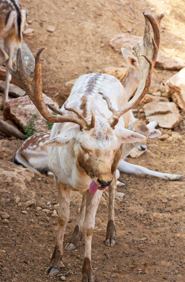 Deer suffers from heat. royalty free stock images