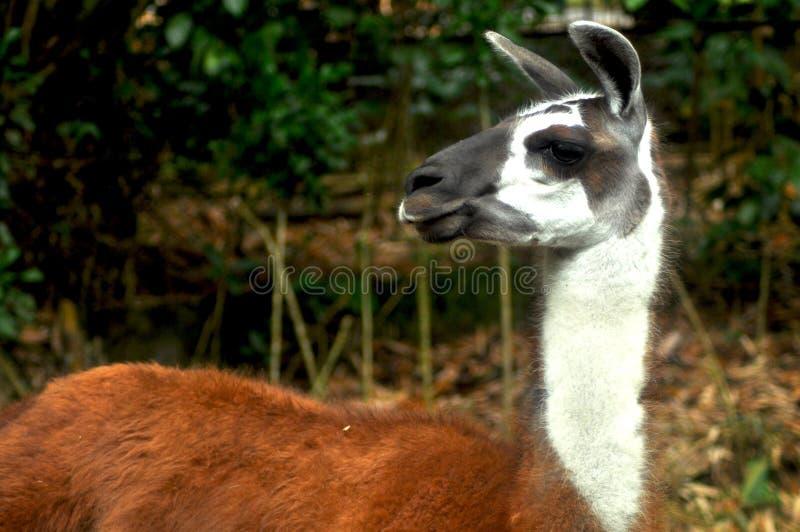 Deer Taman safari, bogor stock photo