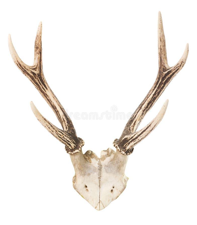 Download Deer trophy stock photo. Image of mammal, skull, wall - 25377662