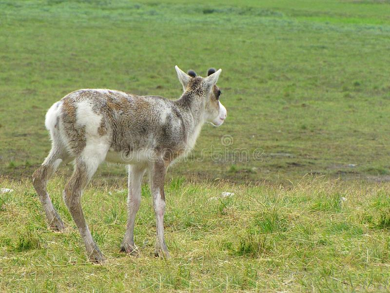 Deer in the tundra. Photo of a deer near the Ural tundra. Summer photos of deer stock photography
