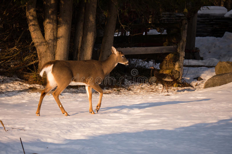 Deer with Turkey in Winter stock images