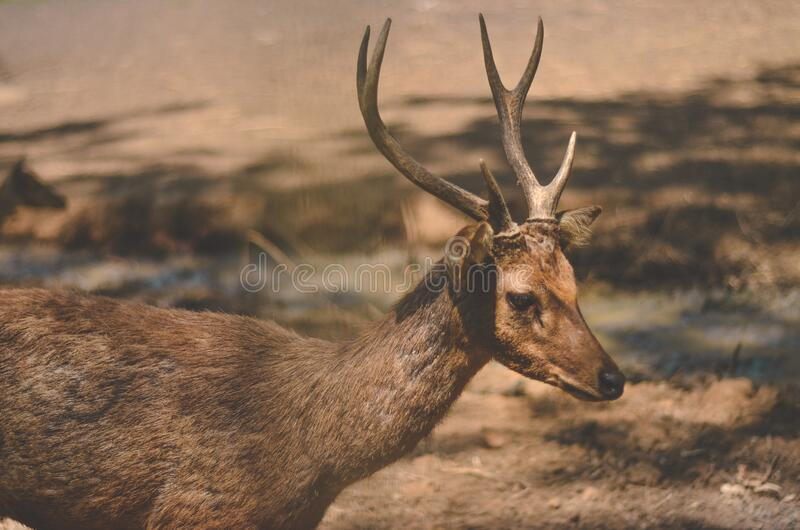 A deer walking inside breeding ground, Tahura Djuanda Bandung Indonesia stock photography