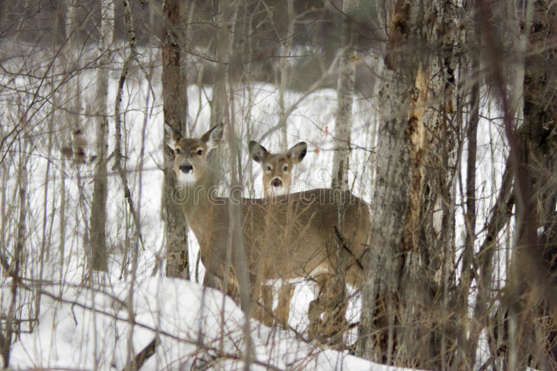 Deer Watching royalty free stock photography