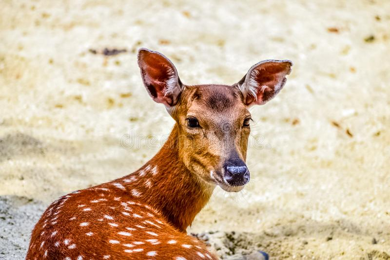 Deer watching closely. With blurred background and clear sharp head royalty free stock photo