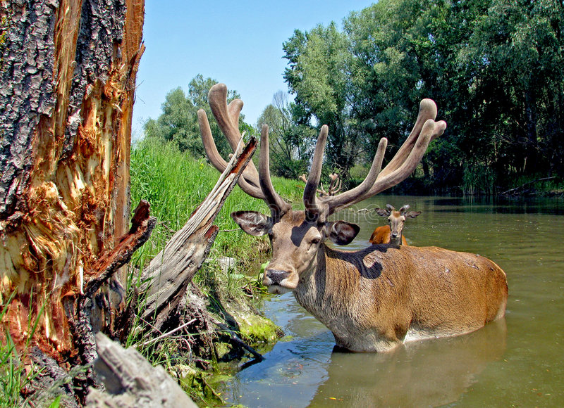Deer in the water stock images