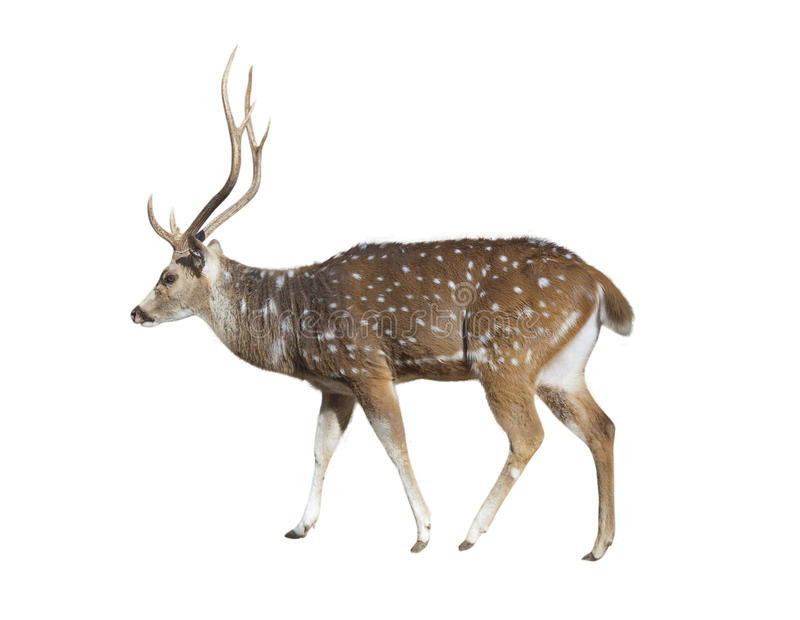 Deer on white royalty free stock photo