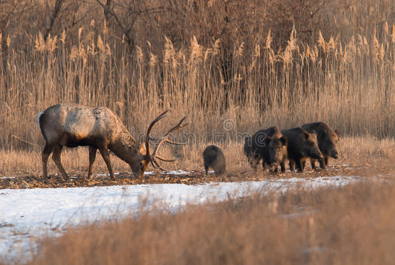 Deer And Wild Boar Stock Image
