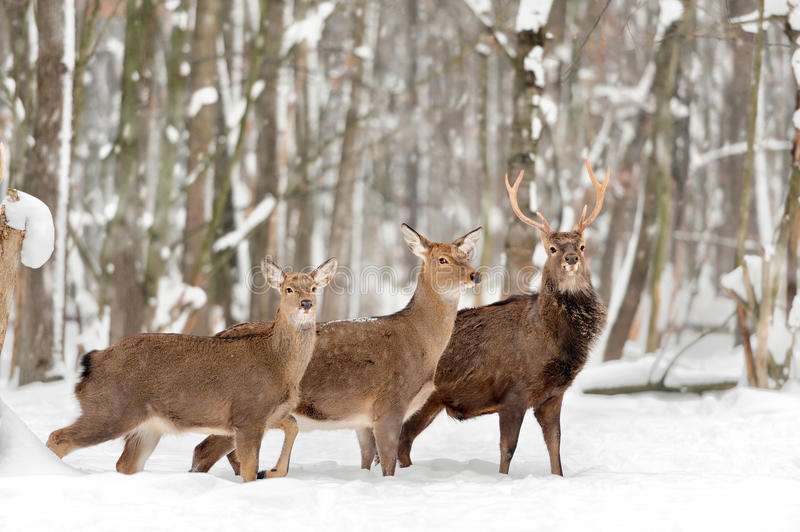 Deer in winter forest royalty free stock photos