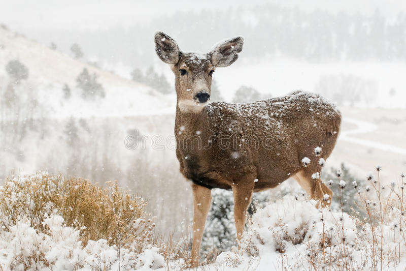 Deer in winter snow scene royalty free stock photo