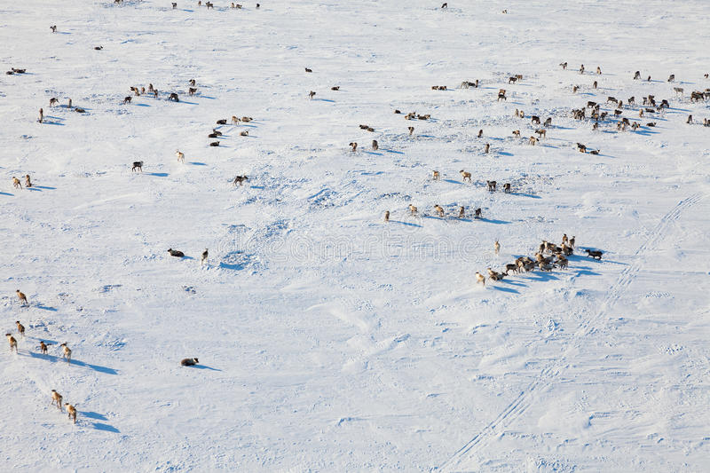 Deer in winter tundra, view from above. Aerial view of herd of reindeer, which run on snow in tundra royalty free stock images
