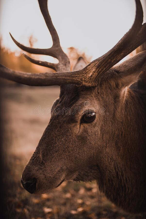Free Deer With Large Branched Horns In The Natural Habitat Stock Photography - 196516972