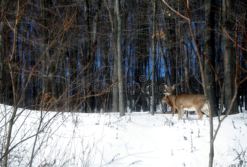 Download Deer In The Woods stock image. Image of trees, tailed - 2108579