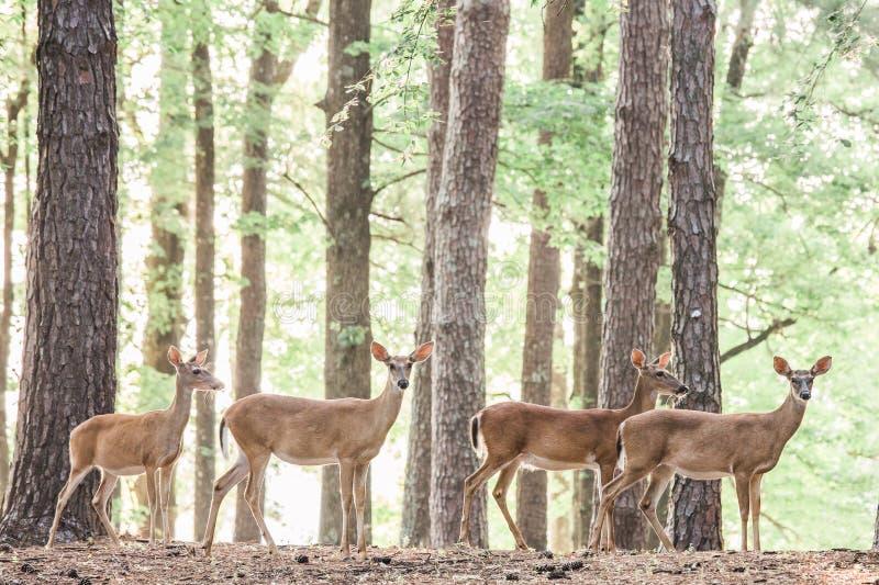 Deer in Woods stock photos