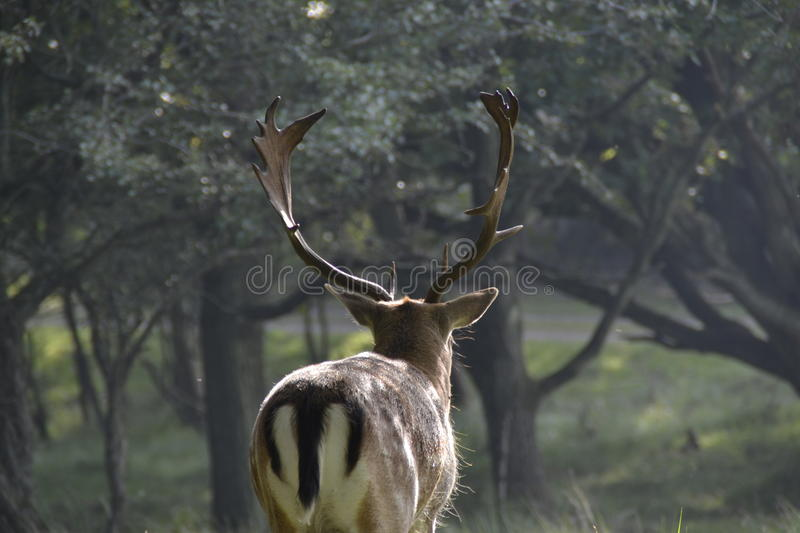 Deer into the woods royalty free stock images
