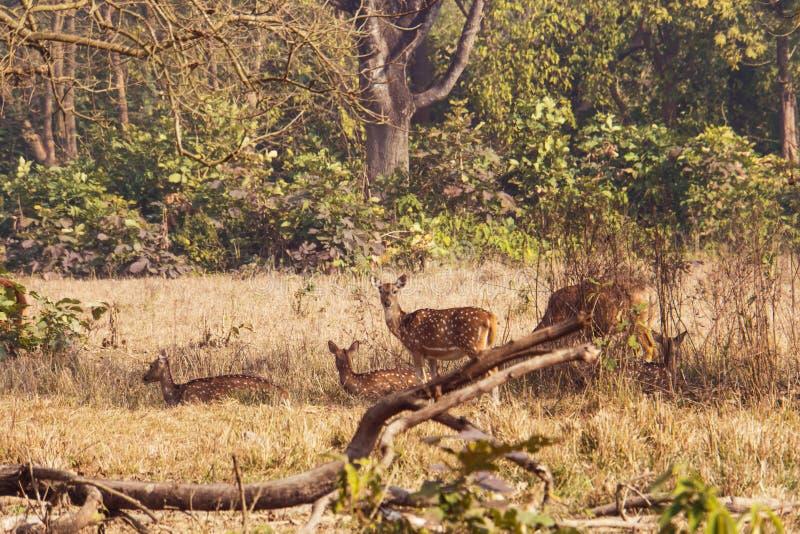 Deer in the woods. Safari in rajaji national Park. Autumn landscape. female deer in the forest stock image