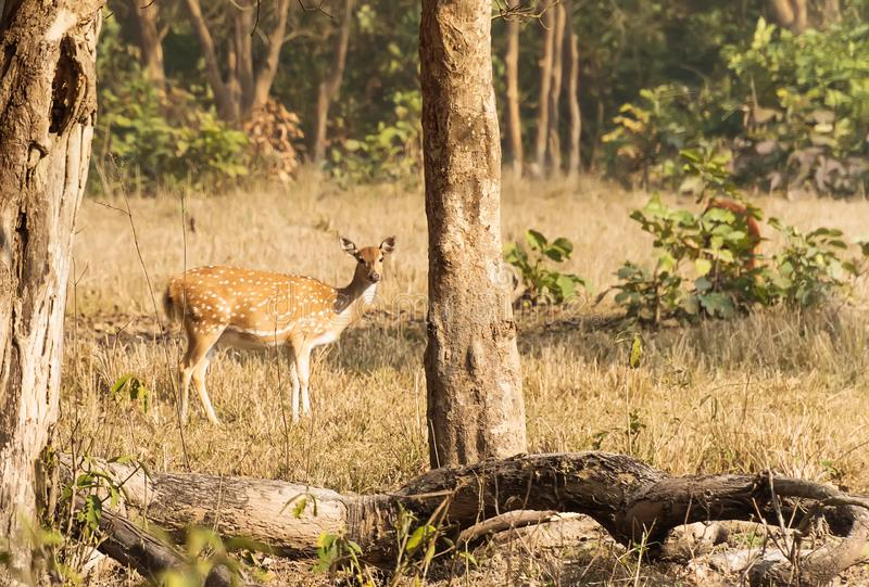 Deer in the woods. Safari in rajaji national Park. Autumn landscape. female deer in the forest royalty free stock photography