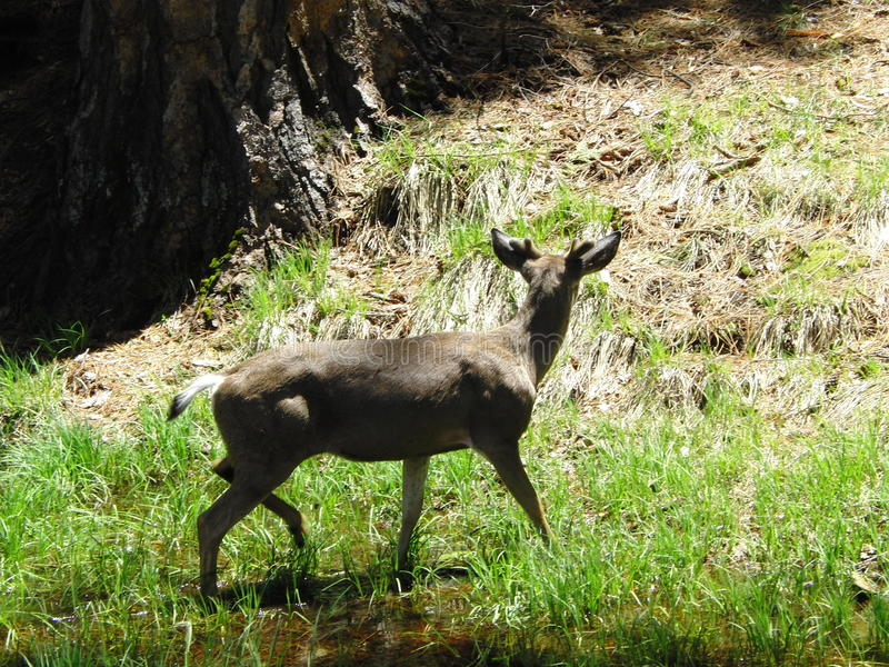 The deer in Yosemite valley royalty free stock photography