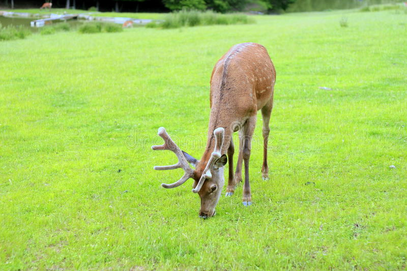 Download Deer stock photo. Image of grass, young, mammal, animal - 31854480