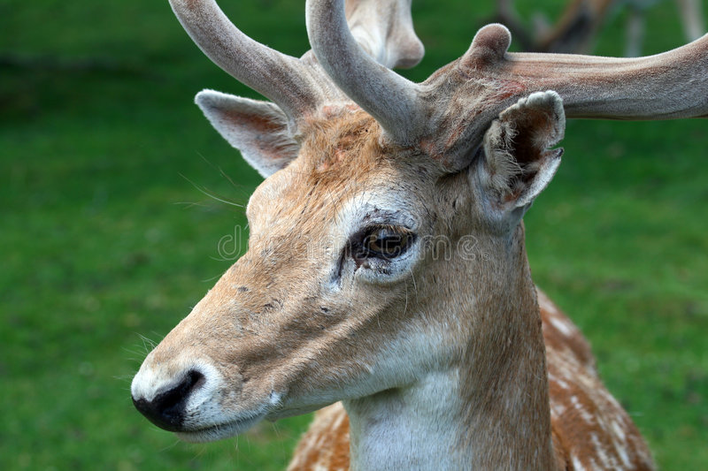 A deer in a zoo royalty free stock photography