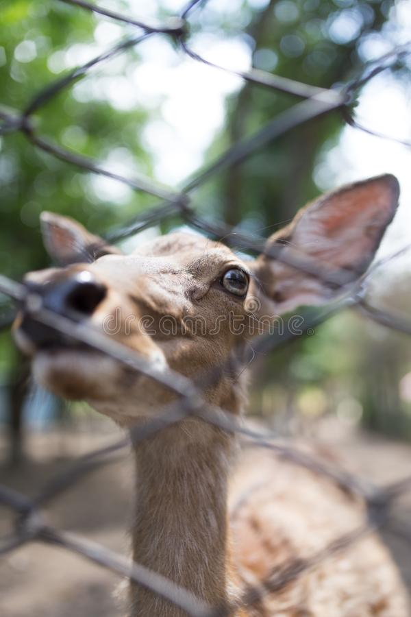 Deer in a zoo behind a fence stock images