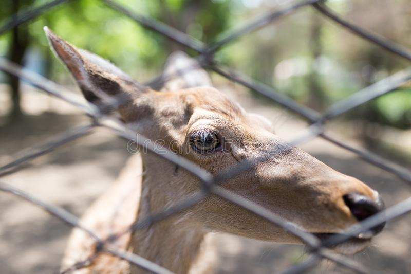 Deer in a zoo behind a fence royalty free stock image