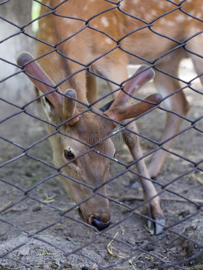 Deer in a zoo behind a fence royalty free stock photo
