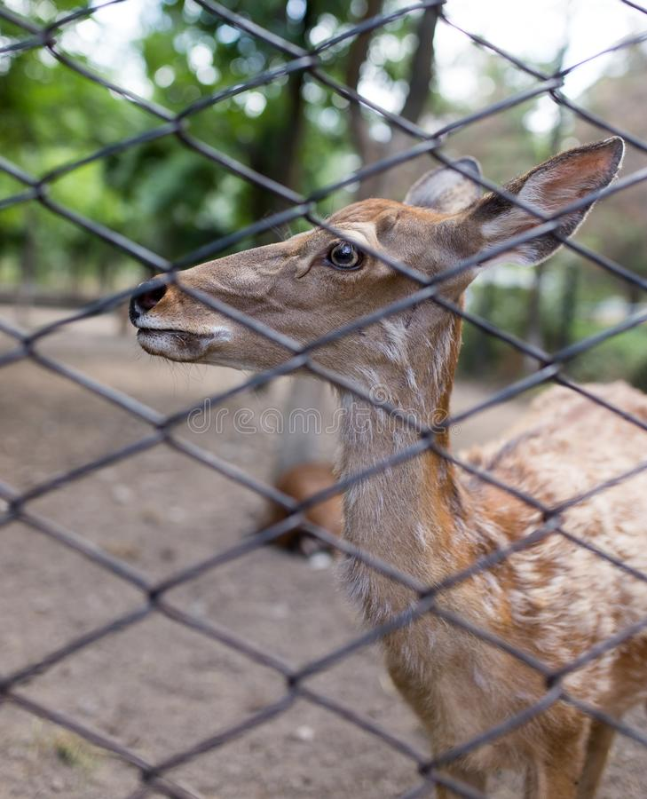 Deer in a zoo behind a fence stock photography