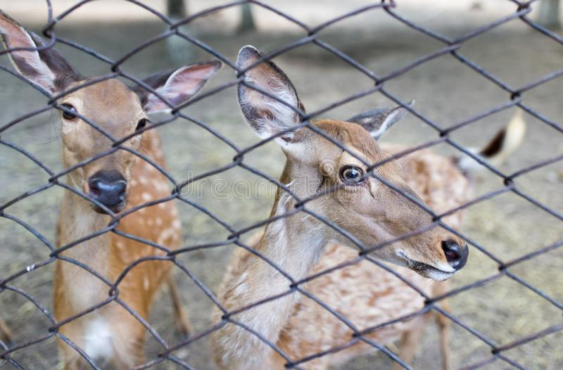 Deer in a zoo behind a fence stock photo