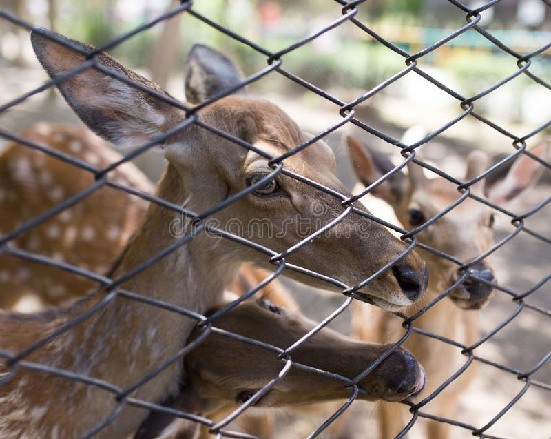 Deer in a zoo behind a fence royalty free stock photos