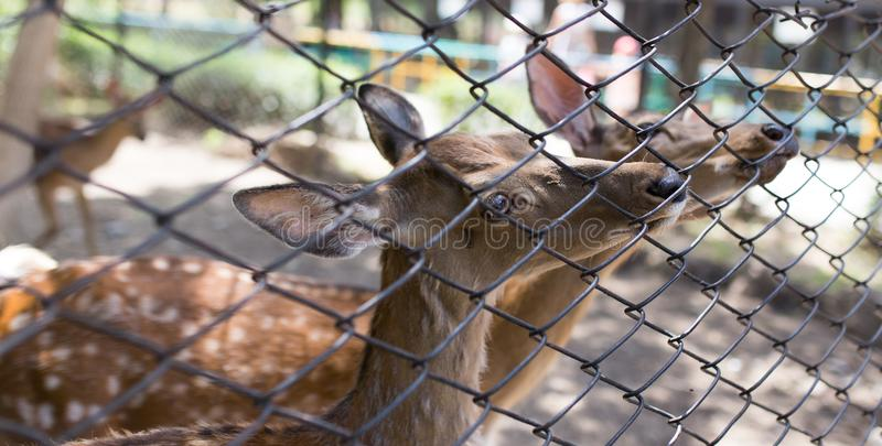 Deer in a zoo behind a fence stock photos