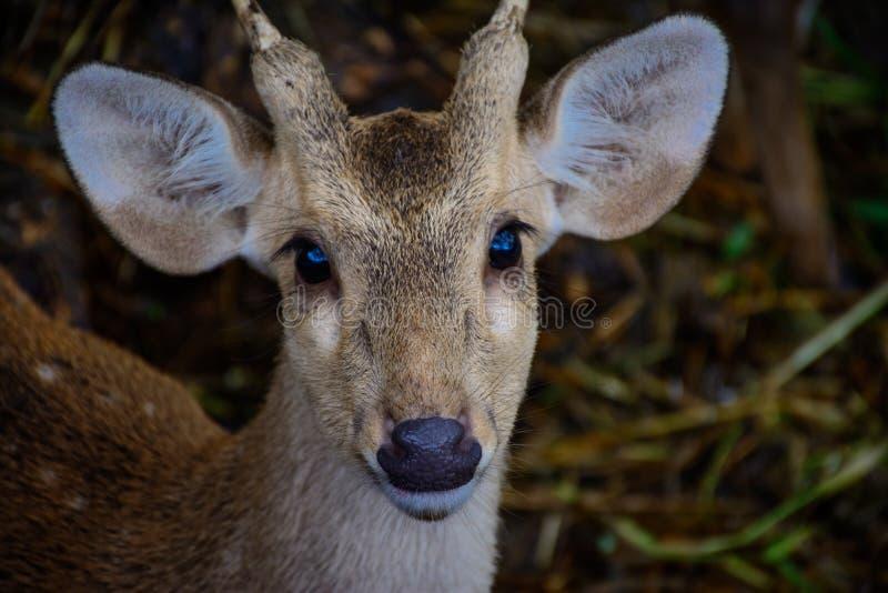 Portrait photo of deer royalty free stock photo