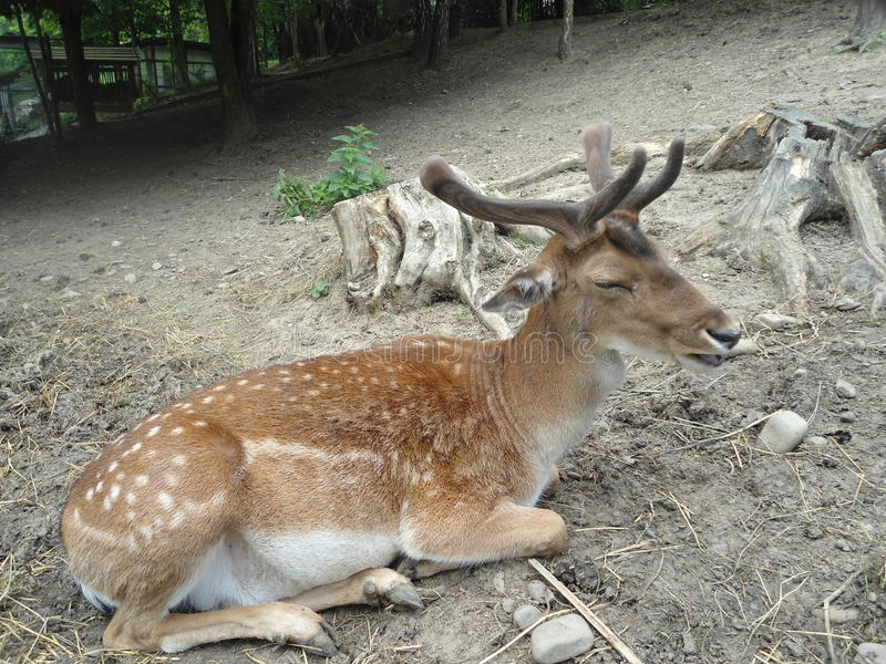 Deer in the zoo royalty free stock photos