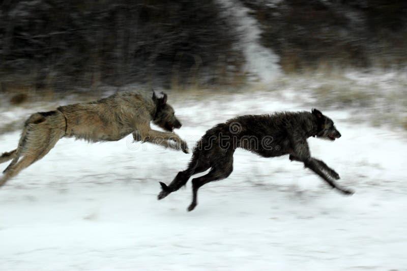 Deerhound escocés y un perro lobo irlandés que juega en una playa nevada imagenes de archivo