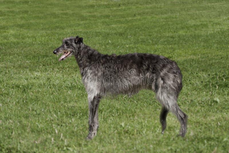 Deerhound w długiej trawie fotografia royalty free