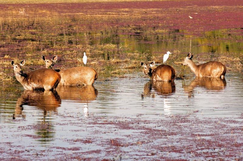 deers印度ranthambore 库存照片