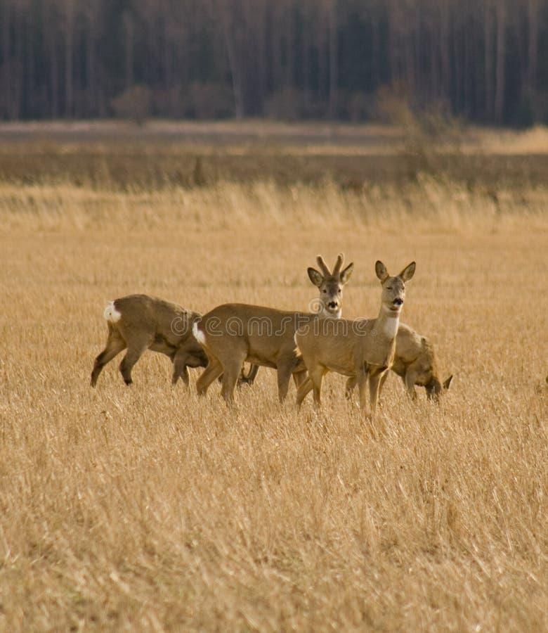deers域獐鹿 库存照片