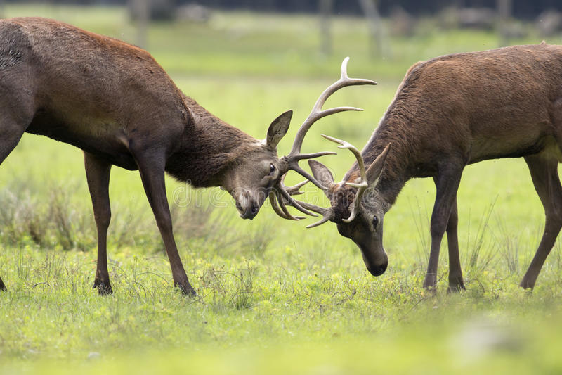 deers战斗 免版税库存图片