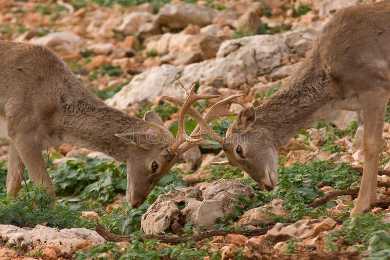 deers战斗 库存图片