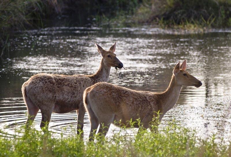 deers沼泽 免版税库存图片