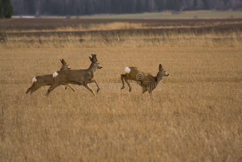 deers獐鹿 免版税库存照片