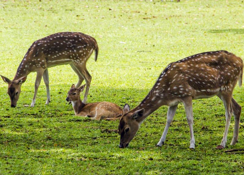 deers草 库存图片
