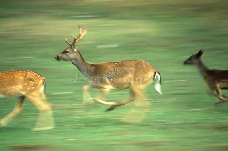 deers运行 免版税库存照片